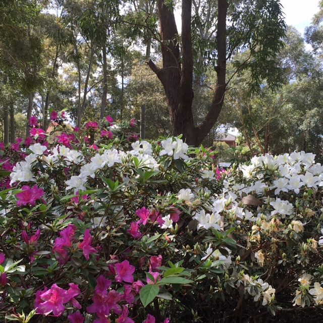 Flowers at Beauchamp Park Chatswood Azalea