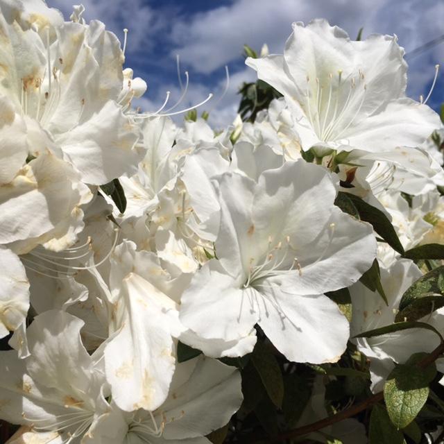 Flowers Chatswood Azalea