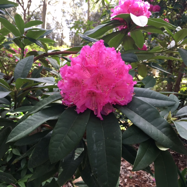 Flowers at Beauchamp Park Chatswood Rhododendron